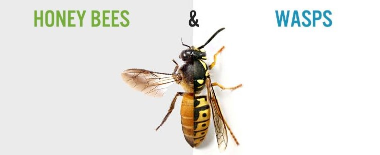 Comment distinguer une abeille d'une guêpe ?
