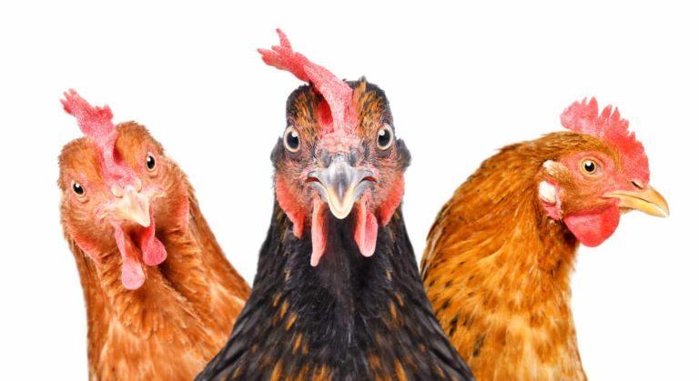 Est-ce que les poules ont déjà eu des dents ?